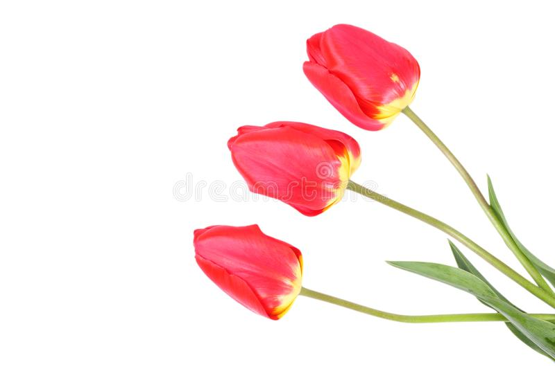 red tulip flower isolated on white background stock photo