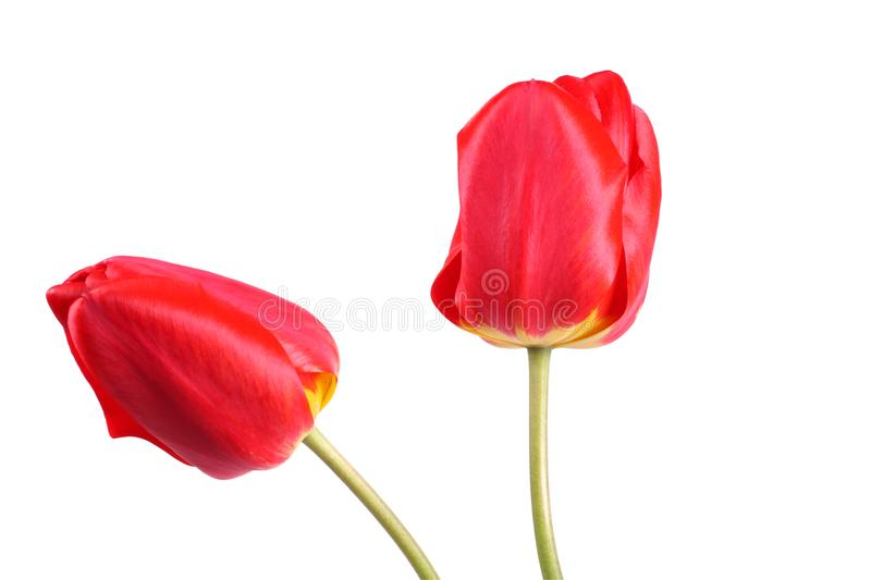 red tulip flower isolated on white background royalty free stock image