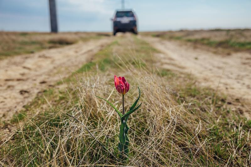 Red tulip flower in the middle of a rural road on car jeep background. Red tulip flower in the middle of a dirt rural road on car jeep background stock photo