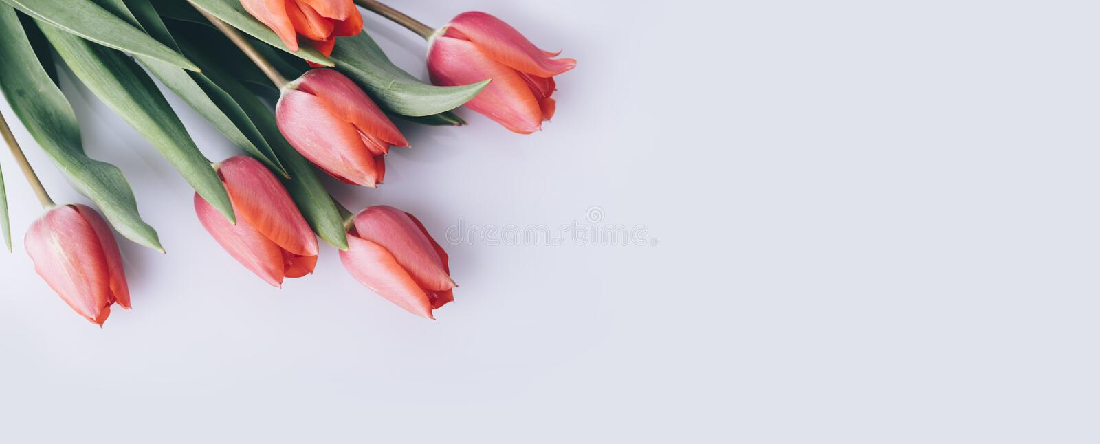Red tulip flower on natural white background from above. Spring bud bouquet creative frame design royalty free stock photography