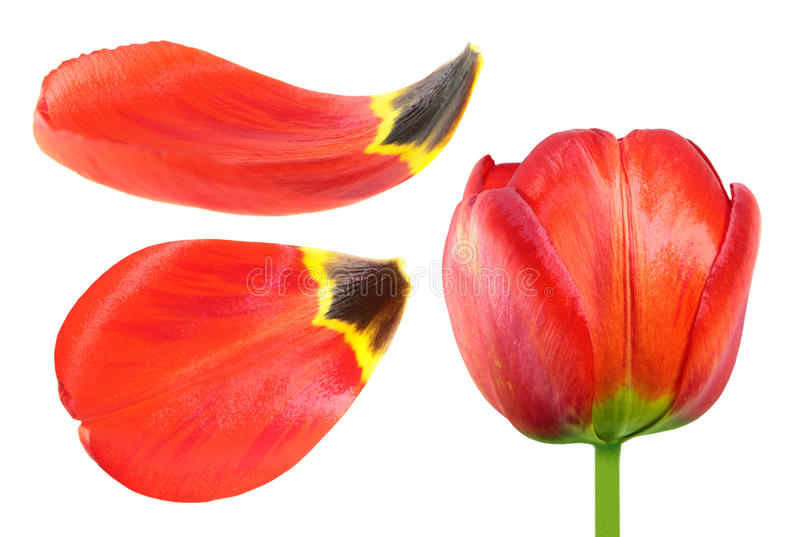 Red tulip flower and petals closeup isolated on white background. Red tulip flower and petals close-up isolated on white background stock image