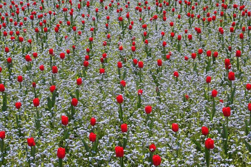 Red tulip garden royalty free stock photo