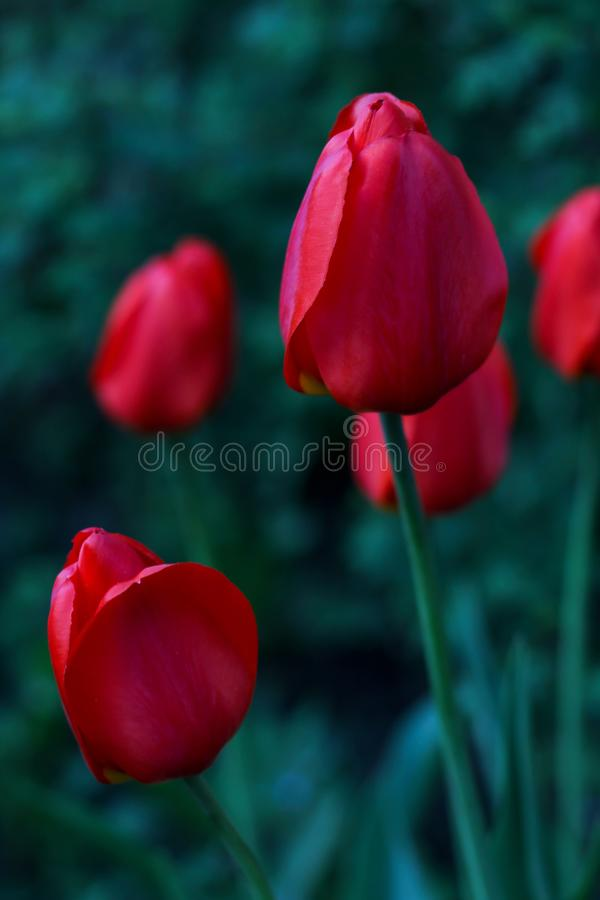 Red tulip growing on a field in green grass stock photo