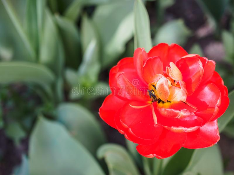 Red tulip growing in the garden. Close-up stock photos