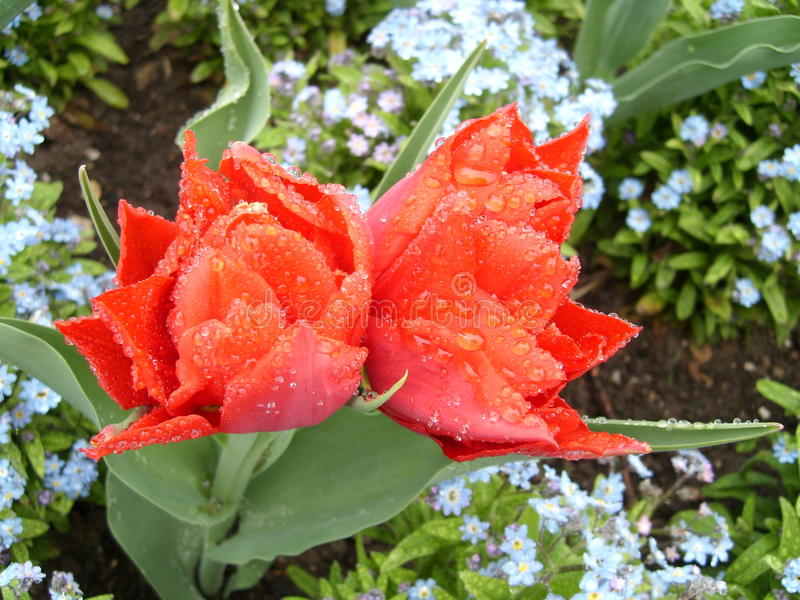Red tulip at Guildford garden. Red tulips in the guildford guild garden stock photography
