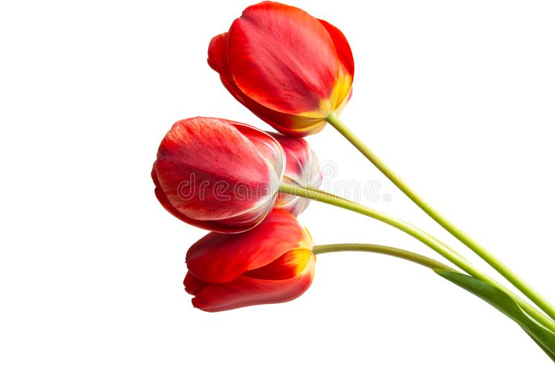 red tulip isolated stock photo