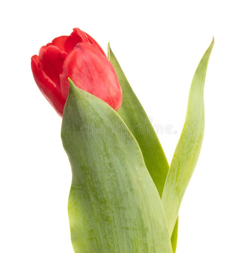 Red tulip isolated. On a white background stock photo