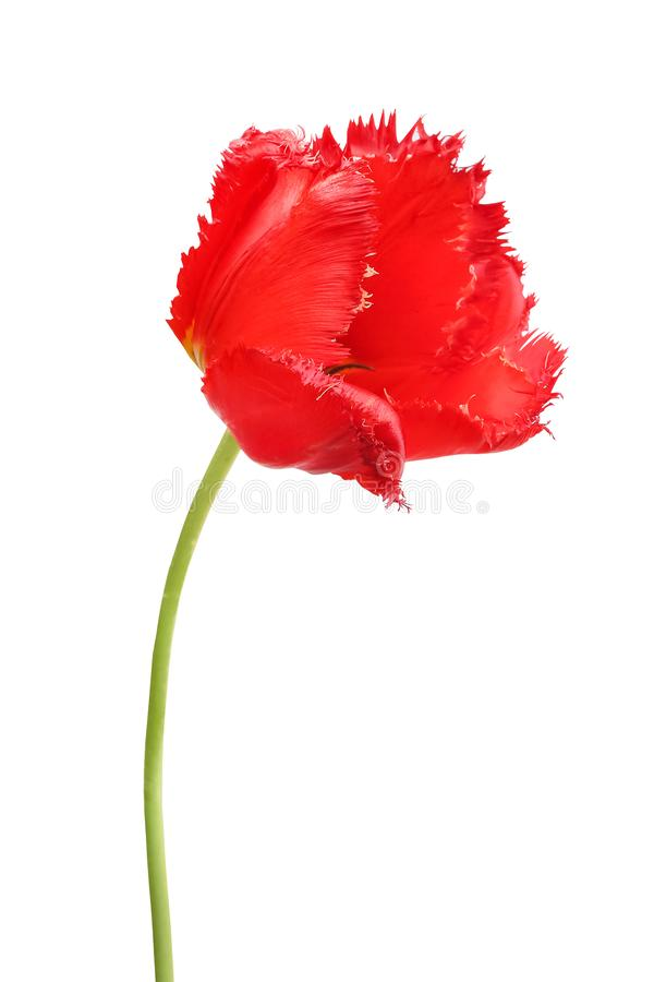 Red tulip isolated in white background stock image