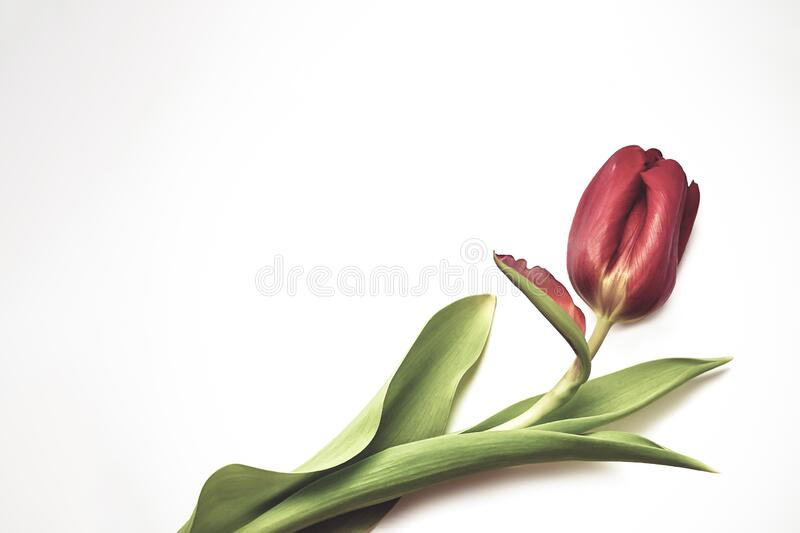 red tulip isolated on white background top view frame