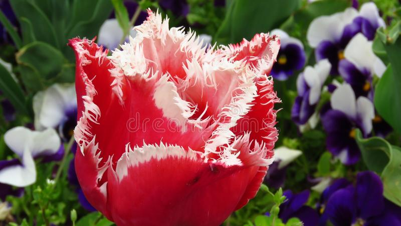 Red Tulip with Jagged Edges and Blue Violets. Tulip 'Bell Song', Fringed tulip. royalty free stock photo