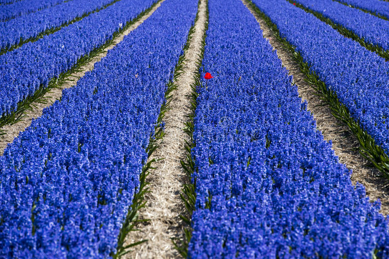 Red tulip in lushly blue hyacinth field. Flowering blue hyacinth field with occasional red tulip royalty free stock photos