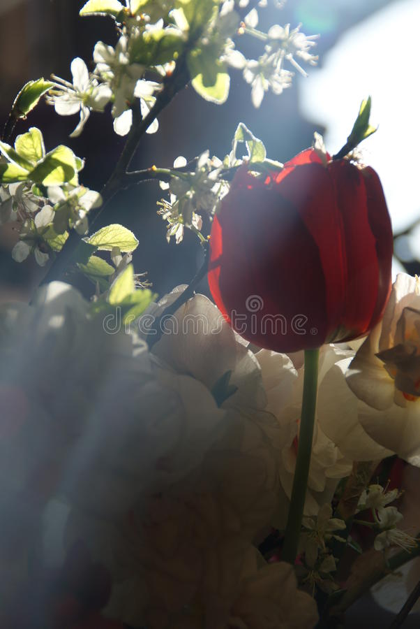 Red tulip royalty free stock image