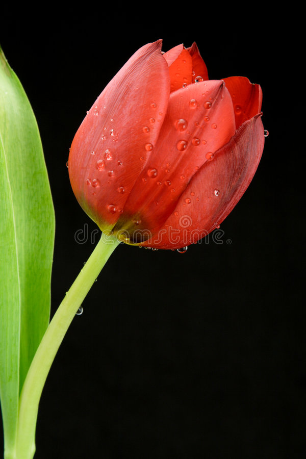 Free Red Tulip On The Black Royalty Free Stock Photography - 6781477