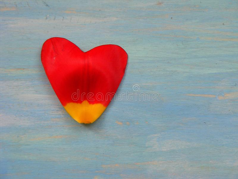 Red tulip petal in form of heart on blue wooden background with space for text royalty free stock image