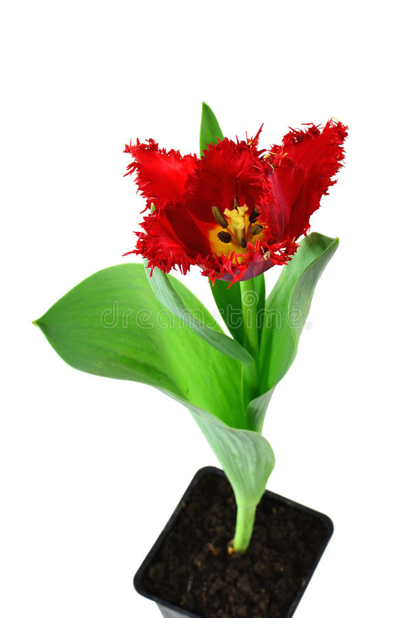 Red tulip in pot stock images