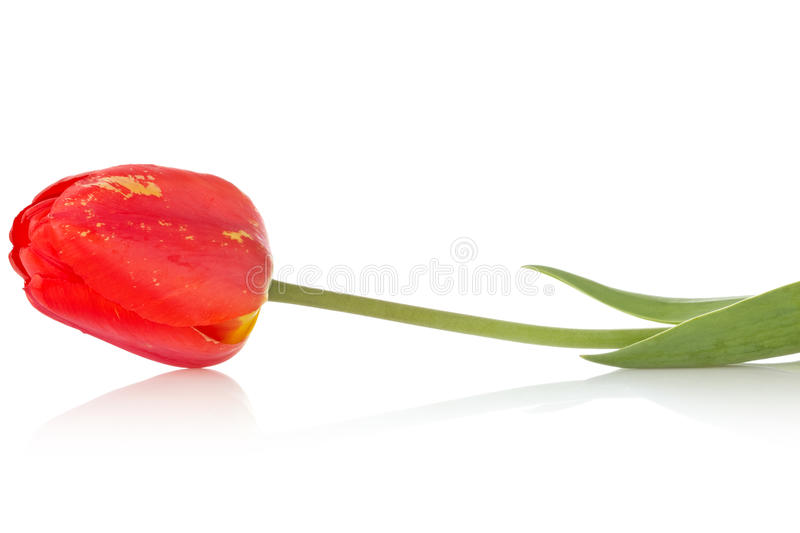 Download Red tulip with reflection stock image. Image of decoration - 24675745