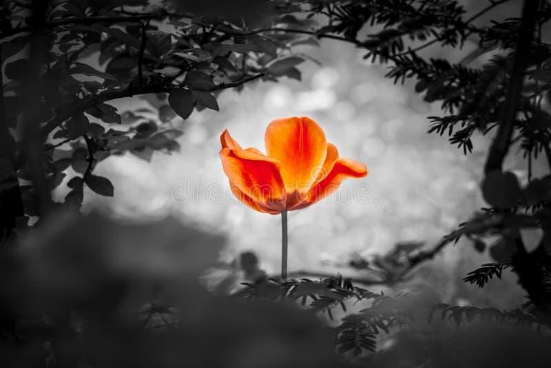 Red Tulip Resurrection In Black White For Peace Love Hope Stock
