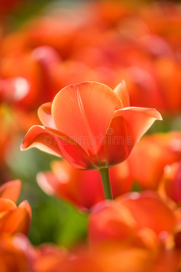 Red tulip stems outdoor royalty free stock photography