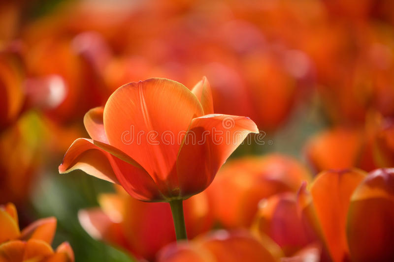Red tulip stems outdoor royalty free stock photo