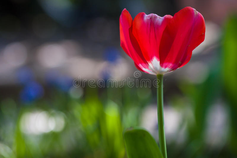 Red tulip in sunlight royalty free stock images