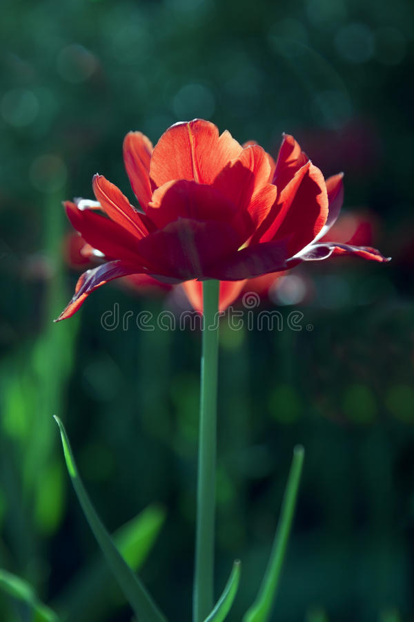 Download Red Tulip In Sunny Day. Royalty Free Stock Photos - Image: 25047018