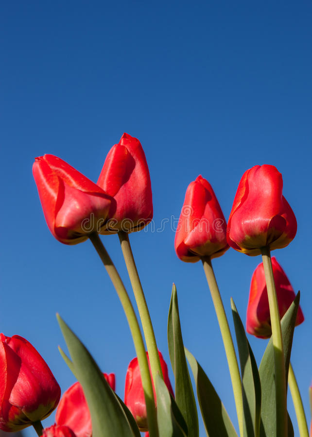 Free Red Tulips Stock Photography - 13997422