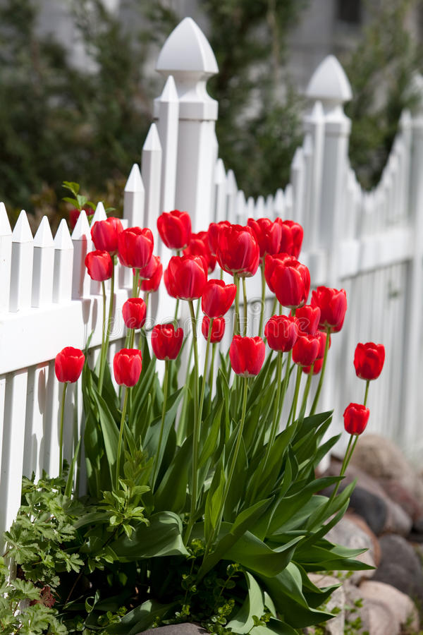 Free Red Tulips Royalty Free Stock Images - 14561389