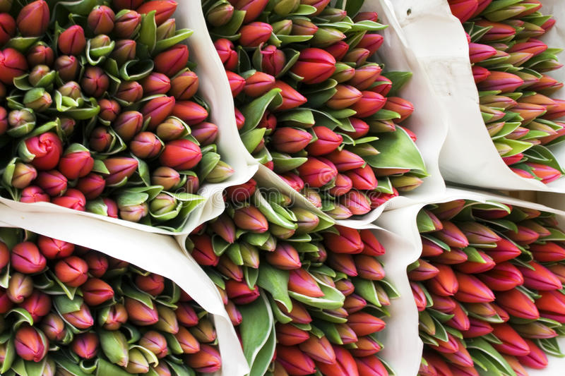 Bouquets of red tulips ready to bloom. Beautiful bouquets of red tulips, Red tulips are most strongly associated with true love stock image