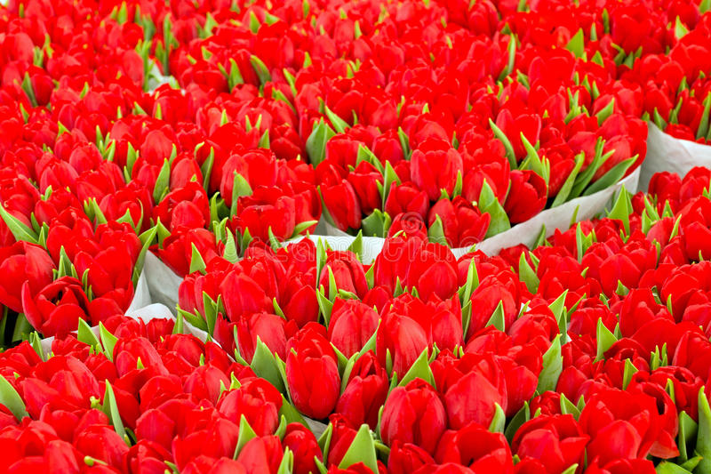 Download Red tulips stock photo. Image of easter, tulip, nature - 24540104