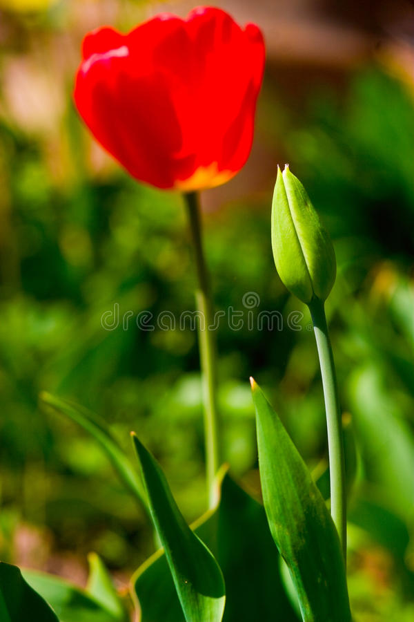 Download Red tulips stock photo. Image of spring, petal, sunshine - 24668984