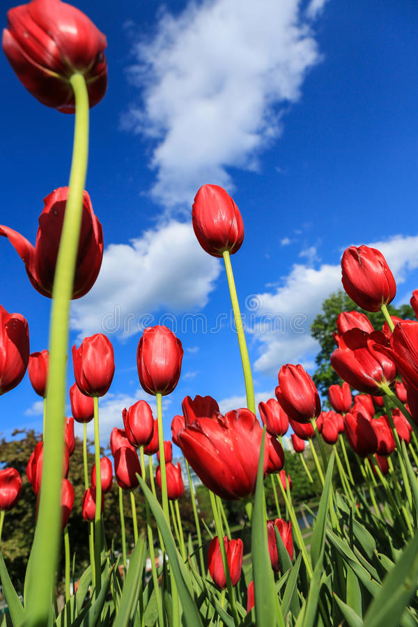 Free Red Tulips Stock Image - 31056261