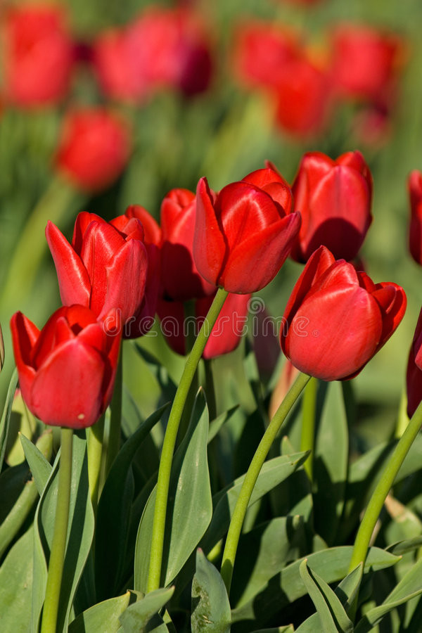 Download Red tulips stock image. Image of green, nursery, holland - 696137