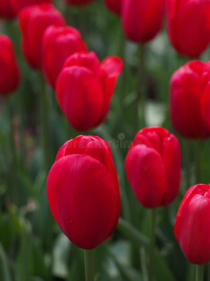 Red Tulips Free Public Domain Cc0 Image