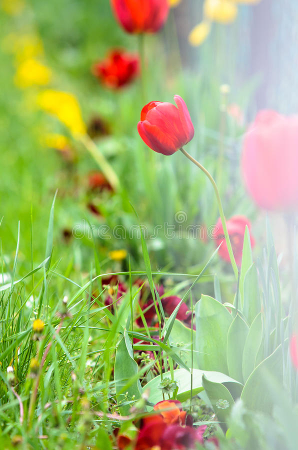 Red tulips in addition to a fence stock images