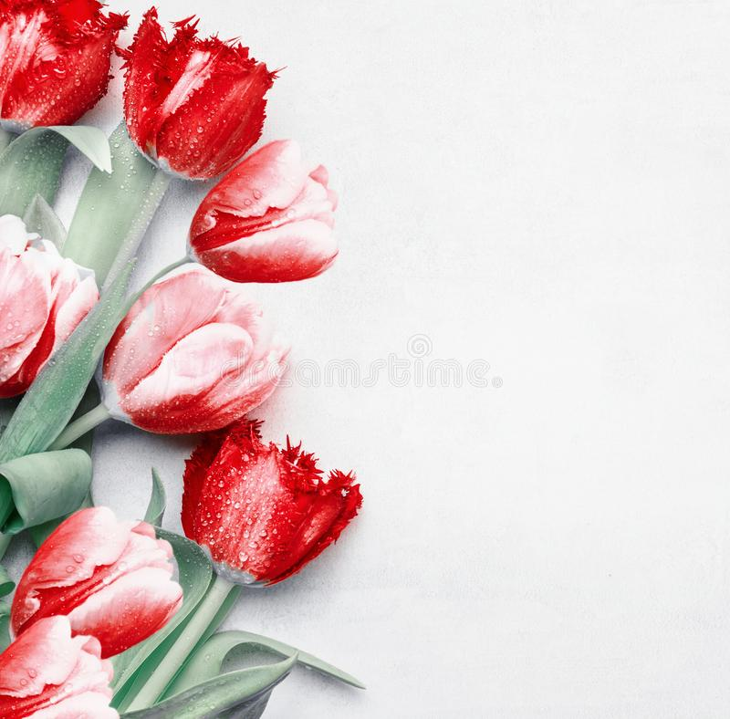 Red tulips background, top view. Festive spring flowers. Floral composing. Springtime holiday and greeting concept. Copy space for royalty free stock images