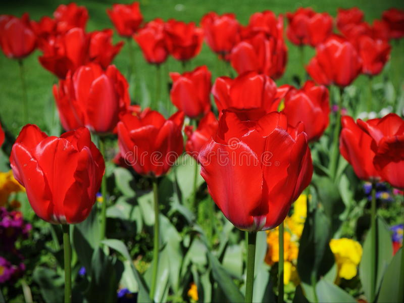 Red Tulips in a Beautiful Flowerbed stock images