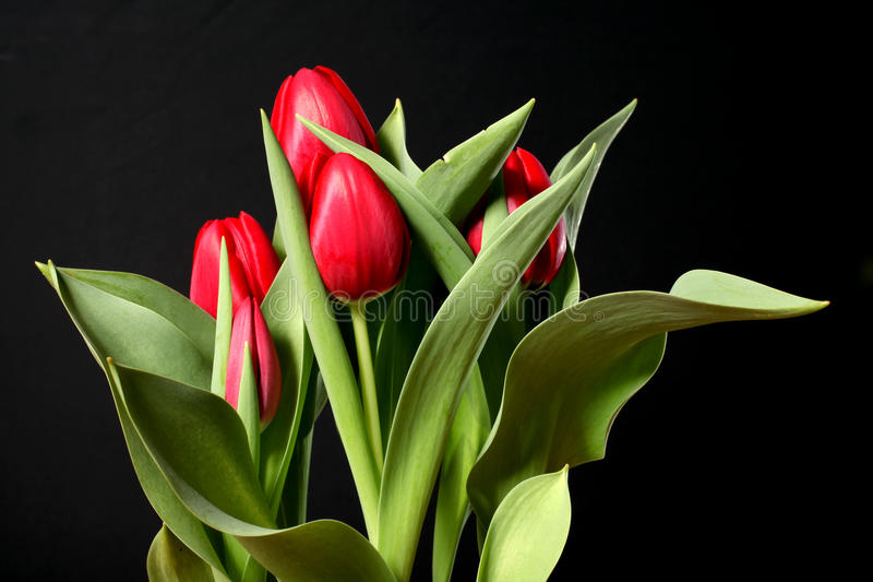 Red tulips on black stock photos