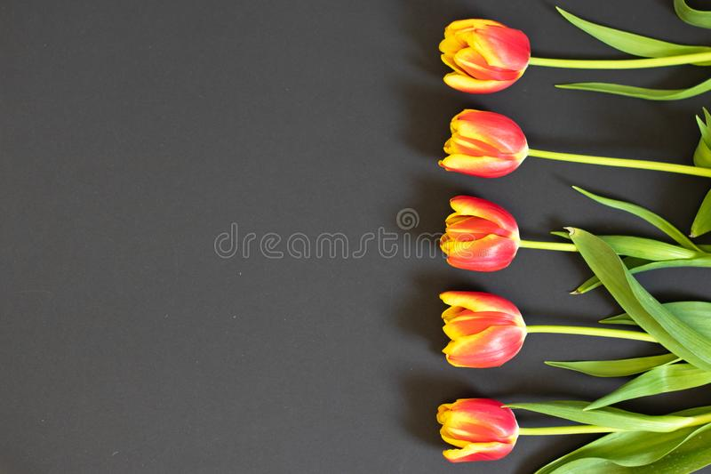 Red tulips on black, background for Valentine`s Day, Birthday, Easter, Mother`s and Woman`s Day stock photography