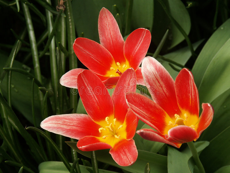Red tulip flowers royalty free stock photos