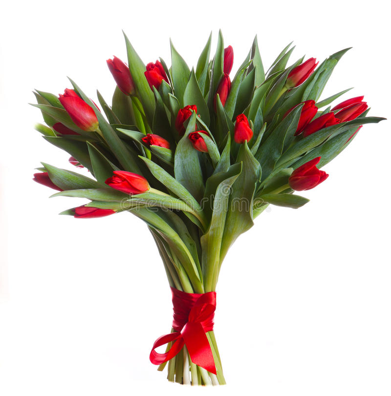 Red tulips blossoms. Red tulips blossom with white background royalty free stock images