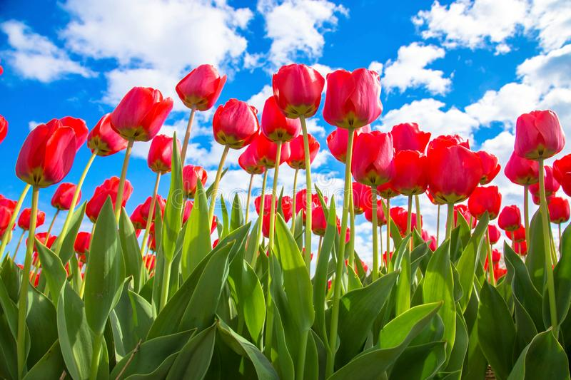 Red tulips and blue sky, sunny spring day royalty free stock image