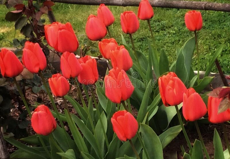 Red tulips. Bunch of red tulips in a half stock photo