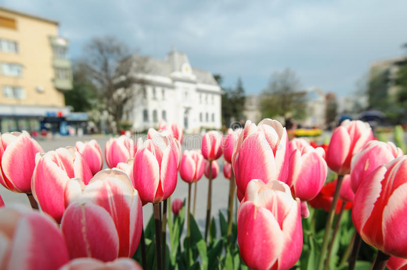 Red Tulips in the city stock photography