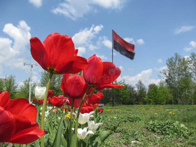 Red tulips close-up on a blurred background of the Right Sector flag in Sumy, Ukraine. The concept of the Ukrainian nationalist. Movement and Ukrainian stock photography