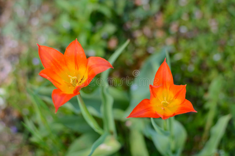 Red tulips - close-up royalty free stock photo
