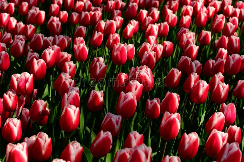 Red tulips close up in Holland , spring time flowers in Keukenhof stock photos
