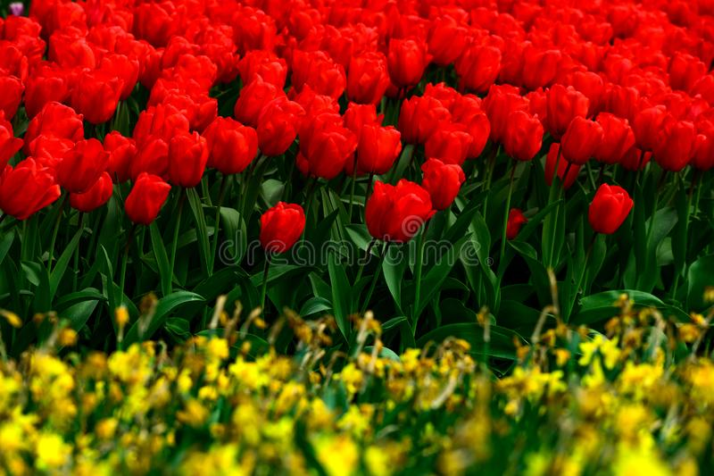 Red tulips close up in Holland , spring time flowers in Keukenhof stock images