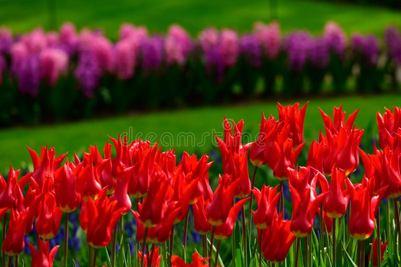 Red tulips close up in Holland , spring time flowers in Keukenhof stock image