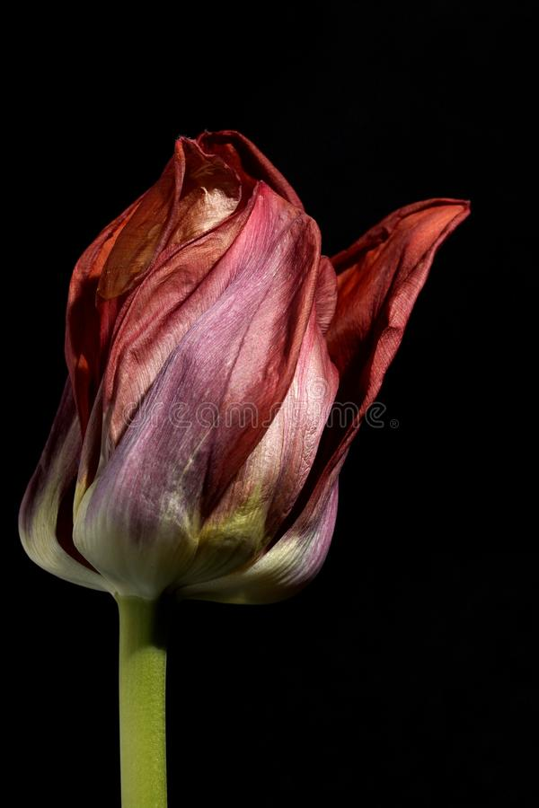 Red Tulips in the dark.  Red Tulip on black background in macro. Close up flowers photography. royalty free stock photo