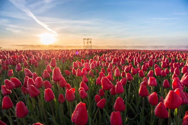 Red tulip field with sprinkler system royalty free stock photos